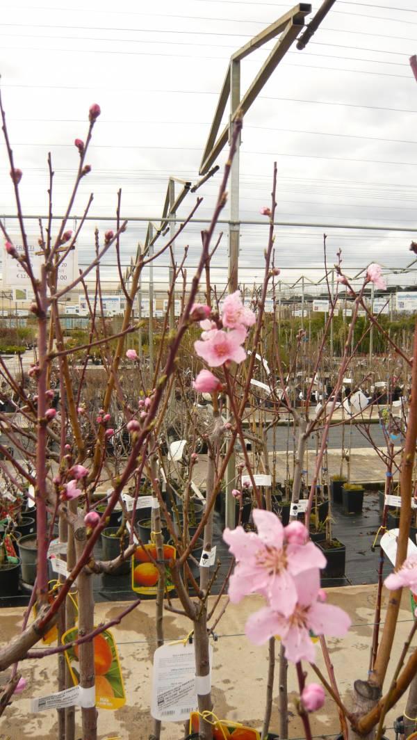 Alberi da frutto vivaio for Vivaio alberi